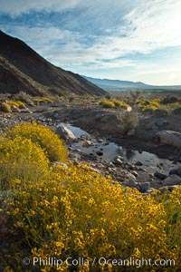 Brittlebush blooms in spring, Palm Canyon, Anza Borrego Desert State Park. Anza-Borrego Desert State Park, Borrego Springs, California, USA, Encelia farinosa, natural history stock photograph, photo id 24311