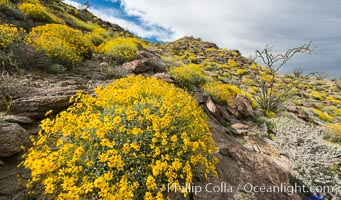 Brittlebush bloom in Anza Borrego Desert State Park, during the 2017 Superbloom, Anza-Borrego Desert State Park, Borrego Springs, California