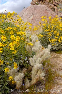Brittlebush blooming in spring surrounds a cholla cactus, Palm Canyon. Anza-Borrego Desert State Park, Borrego Springs, California, USA, Encelia farinosa, Opuntia, natural history stock photograph, photo id 10536