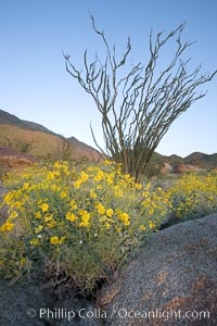 Brittlebush, ocotillo and various cacti and wildflowers color the sides of Glorietta Canyon.  Heavy winter rains led to a historic springtime bloom in 2005, carpeting the entire desert in thick vegetation and spectacular color for months, Encelia farinosa, Fouquieria splendens, Anza-Borrego Desert State Park, Anza Borrego, California