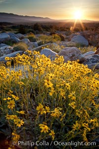 Brittlebush at sunrise, dawn, springtime bloom, Palm Canyon, Anza Borrego Desert State Park. Anza-Borrego Desert State Park, Borrego Springs, California, USA, Encelia farinosa, natural history stock photograph, photo id 24301