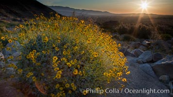 Brittlebush at sunrise, dawn, springtime bloom, Palm Canyon, Anza Borrego Desert State Park, Encelia farinosa, Anza-Borrego Desert State Park, Borrego Springs, California