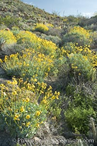 Brittlebush and various cacti and wildflowers color the sides of Glorietta Canyon.  Heavy winter rains led to a historic springtime bloom in 2005, carpeting the entire desert in vegetation and color for months, Encelia farinosa, Anza-Borrego Desert State Park, Anza Borrego, California