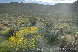 Brittlebush, ocotillo and various cacti and wildflowers color the sides of Glorietta Canyon.  Heavy winter rains led to a historic springtime bloom in 2005, carpeting the entire desert in vegetation and color for months, Encelia farinosa, Fouquieria splendens, Anza-Borrego Desert State Park, Borrego Springs, California