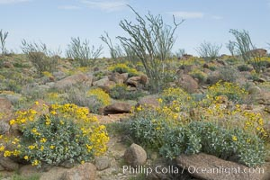 Brittlebush, ocotillo and various cacti and wildflowers color the sides of Glorietta Canyon.  Heavy winter rains led to a historic springtime bloom in 2005, carpeting the entire desert in vegetation and color for months, Encelia farinosa, Fouquieria splendens, Anza-Borrego Desert State Park, Anza Borrego, California