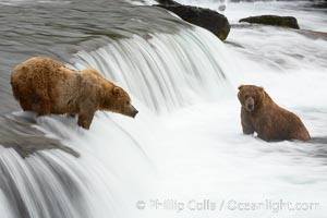 Brown bear (grizzly bear) waits for salmon at Brooks Falls. Blurring of the water is caused by a long shutter speed. Brooks River, Ursus arctos, Katmai National Park, Alaska