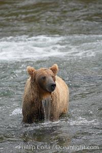 Brown bear (grizzly bear), Ursus arctos, Brooks River, Katmai National Park, Alaska