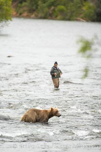 Brown bear shares the river with a fly fisherman, both searching for salmon running upstream to spawn in Naknek Lake. Brooks River, Ursus arctos, Katmai National Park, Alaska