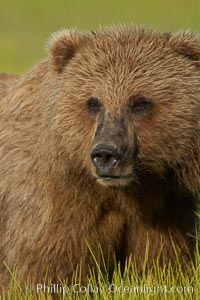Portrait of a young brown bear, pausing while grazing in tall sedge grass.  Brown bears can consume 30 lbs of sedge grass daily, waiting weeks until spawning salmon fill the rivers, Ursus arctos, Lake Clark National Park, Alaska