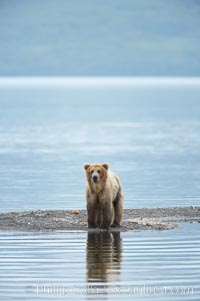 Brown bear reflected in the Brooks River at the edge of Brooks Lake, Ursus arctos, Katmai National Park, Alaska