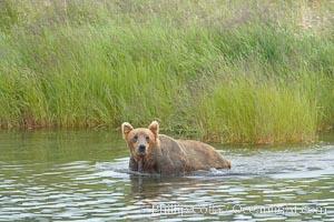Brown bear walks through the marsh that edges Brooks River, Ursus arctos, Katmai National Park, Alaska