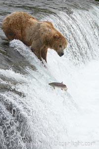 Alaskan brown bear watches a jumping salmon, Brooks Falls, Ursus arctos, Brooks River, Katmai National Park