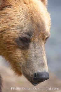 Brown bear head profile, Ursus arctos, Brooks River, Katmai National Park, Alaska