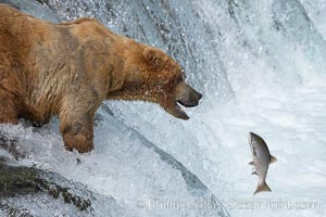 Alaskan brown bear catching a jumping salmon, Brooks Falls. Brooks River, Katmai National Park, Alaska, USA, Ursus arctos, natural history stock photograph, photo id 17090