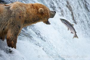 Alaskan brown bear catching a jumping salmon, Brooks Falls. Brooks River, Katmai National Park, Alaska, USA, Ursus arctos, natural history stock photograph, photo id 17155