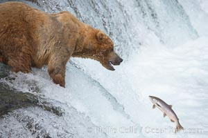 Image 17160, Alaskan brown bear watches a jumping salmon, Brooks Falls. Brooks River, Katmai National Park, Alaska, USA, Ursus arctos, Phillip Colla, all rights reserved worldwide. Keywords: alaska, alaskan brown bear, animal, animalia, arctos, bear, bear behavior, brooks falls, brooks river, brown bear, brown bear catching salmon, caniformia, carnivora, carnivore, chordata, coastal brown bear, environment, grizzly bear, jump, katmai, katmai national park, leap, mammal, national park, national parks, nature, outdoors, outside, river, salmon, spawn, ursidae, ursus, ursus arctos, ursus arctos horribilis, usa, vertebrata, vertebrate.