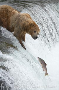 Alaskan brown bear watches a jumping salmon, Brooks Falls, Ursus arctos, Brooks River, Katmai National Park