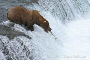 Alaskan brown bear catches a jumping salmon, Brooks Falls, Ursus arctos, Brooks River, Katmai National Park