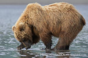 Coastal brown bear forages for razor clams in sand flats at extreme low tide.  Grizzly bear, Ursus arctos, Lake Clark National Park, Alaska