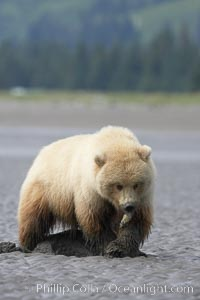 Juvenile female brown bear forages for razor clams in sand flats at extreme low tide.  Grizzly bear. Lake Clark National Park, Alaska, USA, Ursus arctos, natural history stock photograph, photo id 19141