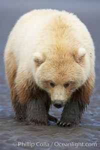 Juvenile female brown bear forages for razor clams in sand flats at extreme low tide.  Grizzly bear. Lake Clark National Park, Alaska, USA, Ursus arctos, natural history stock photograph, photo id 19182