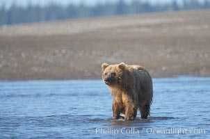 Coastal brown bear forages for razor clams on mud flats at extreme low tide, Ursus arctos, Silver Salmon Creek, Lake Clark National Park, Alaska