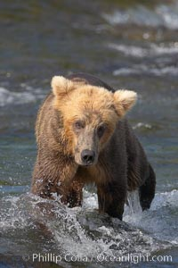 Brown bear cub crosses the Brooks River, Ursus arctos, Katmai National Park, Alaska
