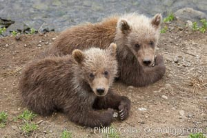 Brown bear spring cubs, a few months old, Ursus arctos, Brooks River, Katmai National Park, Alaska