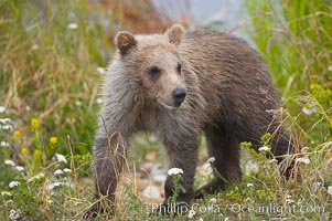 Brown bear spring cub, just a few months old. Brooks River, Katmai National Park, Alaska, USA, Ursus arctos, natural history stock photograph, photo id 17057