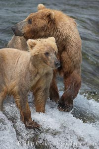Brown bear cub stands with its mother atop Brooks Falls, Ursus arctos, Brooks River, Katmai National Park, Alaska