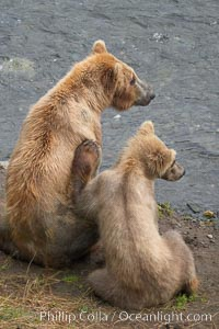 Brown bear mother and cub, Ursus arctos, Brooks River, Katmai National Park, Alaska