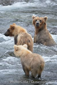Brown bear mother and two spring cubs, Ursus arctos, Brooks River, Katmai National Park, Alaska