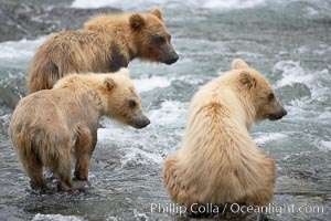 Brown bear spring cubs, a litter of three just a few months old, wait for their mother to return to the side of the Brooks River, Ursus arctos, Katmai National Park, Alaska