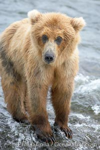 Brown bear cub, Ursus arctos, Brooks River, Katmai National Park, Alaska