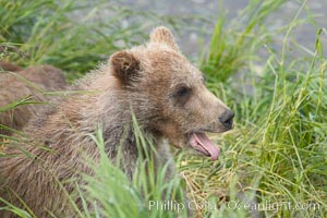 Brown bear cub, a few months old, Ursus arctos, Brooks River, Katmai National Park, Alaska