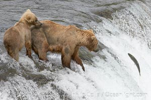 Brown bear cub learns to catch salmon by watching its mother, Brooks Falls, Ursus arctos, Brooks River, Katmai National Park, Alaska