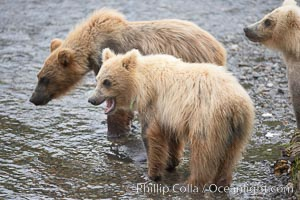 Brown bear spring cubs, just a few months old, Ursus arctos, Brooks River, Katmai National Park, Alaska