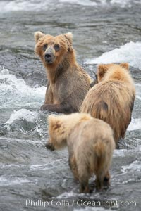Brown bear mother watches her two spring cubs as she tries to catch salmon in the Brooks River, Ursus arctos, Katmai National Park, Alaska