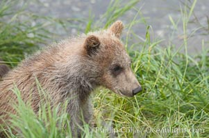 Brown bear spring cub, just a few months old, Ursus arctos, Brooks River, Katmai National Park, Alaska
