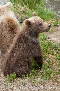Brown bear spring cub, just a few months old, Ursus arctos, Brooks River, Katmai National Park, Alaska