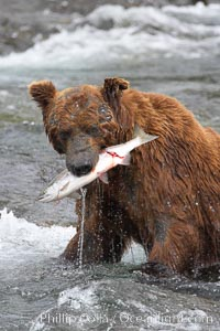 Image 17051, A brown bear eats a salmon it has caught in the Brooks River. Brooks River, Katmai National Park, Alaska, USA, Ursus arctos, Phillip Colla, all rights reserved worldwide. Keywords: alaska, alaskan brown bear, animal, animalia, arctos, bear, bear behavior, brooks river, brown bear, brown bear eating salmon, brown bears, caniformia, carnivora, carnivore, chordata, coastal brown bear, creature, environment, grizzly bear, katmai, katmai national park, mammal, national park, national parks, nature, outdoors, outside, river, salmon, spawn, ursidae, ursus, ursus arctos, ursus arctos horribilis, usa, vertebrata, vertebrate, water, wildlife.