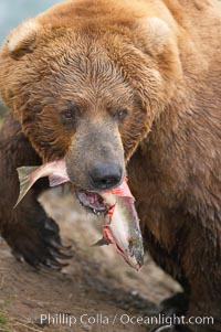 A brown bear eats a salmon it has caught in the Brooks River. Brooks River, Katmai National Park, Alaska, USA, Ursus arctos, natural history stock photograph, photo id 17052