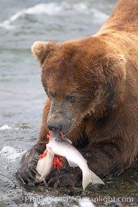 A brown bear eats a salmon it has caught in the Brooks River. Brooks River, Katmai National Park, Alaska, USA, Ursus arctos, natural history stock photograph, photo id 17100