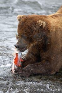 A brown bear eats a salmon it has caught in the Brooks River, Ursus arctos, Katmai National Park, Alaska