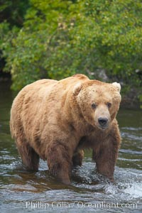 A large, old brown bear (grizzly bear) wades across Brooks River. Coastal and near-coastal brown bears in Alaska can live to 25 years of age, weigh up to 1400 lbs and stand over 9 feet tall., Ursus arctos,  Copyright Phillip Colla, image #17039, all rights reserved worldwide.