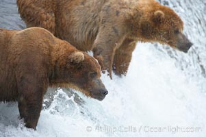 Image 17040, Brown bear (grizzly bear). Brooks River, Katmai National Park, Alaska, USA, Ursus arctos