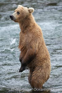 Brown bear (grizzly bear). Brooks River, Katmai National Park, Alaska, USA, Ursus arctos, natural history stock photograph, photo id 17041