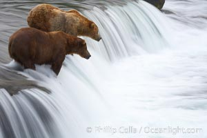 Two brown bears wait for salmon at Brooks Falls. Blurring of the water is caused by a long shutter speed. Brooks River., Ursus arctos,  Copyright Phillip Colla, image #17048, all rights reserved worldwide.