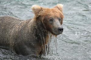 Brown bear (grizzly bear). Brooks River, Katmai National Park, Alaska, USA, Ursus arctos, natural history stock photograph, photo id 17060