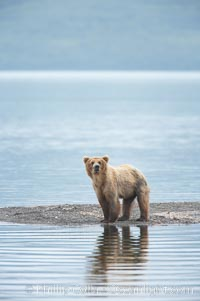 Brown bear walks along the edge of Brooks Lake. Brooks River, Katmai National Park, Alaska, USA, Ursus arctos, natural history stock photograph, photo id 17063